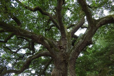 mature oak tree in louisiana